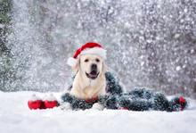Happy Labrador Dog Posing In A...