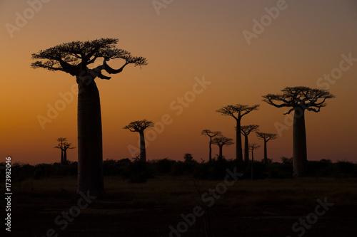 Staande foto Baobab Baobab Baeume im Sonnenuntergang
