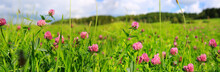 Clover Flowers Background.