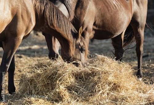 Fototapeta Cavalli obraz