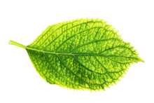 Isolated Green Hortensia Leaf