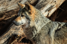 A Dignified Mexican Wolf At Rest