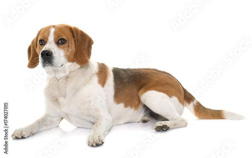 beagle in studio © cynoclub