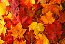 Autumn Background With Maple L...