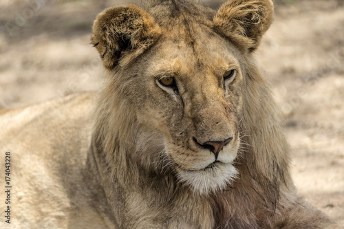 Staande foto Leeuw Close up of male lion's head as he sits on ground, Tarangire National Park, Tanzania, Africa