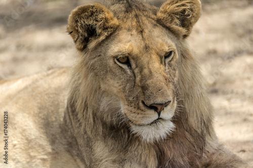 Foto op Plexiglas Leeuw Close up of male lion's head as he sits on ground, Tarangire National Park, Tanzania, Africa