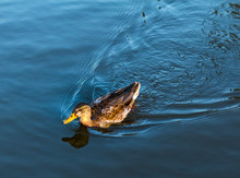 A Female Duck / Hen Swims Quic...