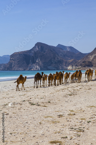 Camels crossing the road near Salalah, Oman.
