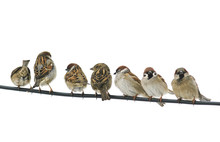 Many Small Birds Sparrows Sitt...