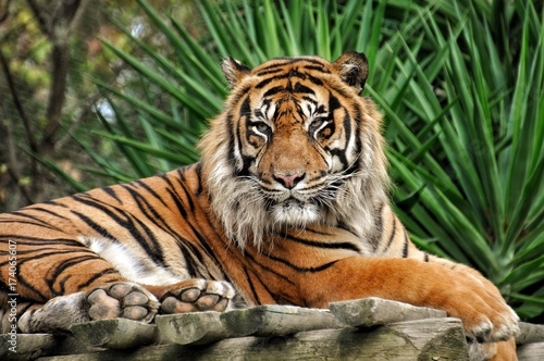 Photo sur Toile Tigre TIgre qui pose
