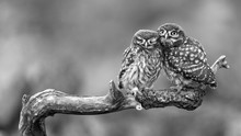 Two Little Owls Sitting On A S...