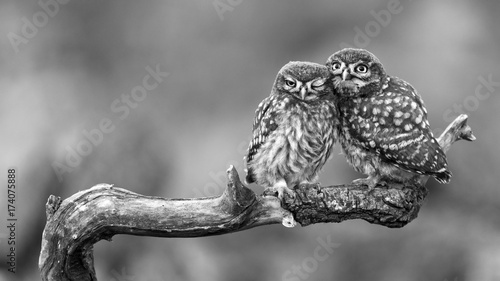 Fotobehang Uil Two little owls sitting on a stick pressed against each other on a beautiful background.