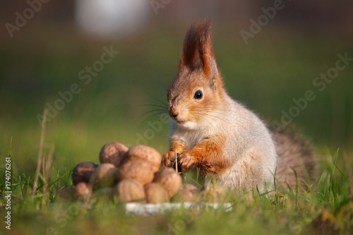 Fotografía  The squirrel stands on the ground in front of a pile of nuts.