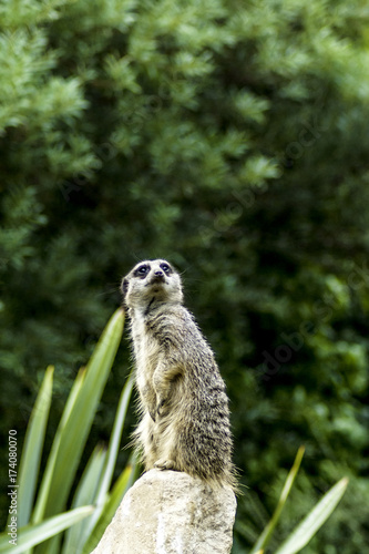 Timon - wild meerkat / suricate on watch Canvas Print