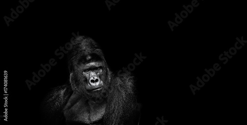 In de dag Aap Portrait of a male gorilla on a black background, severe silverback, Grave look of the great ape, the most dangerous and biggest monkey of the world. The chief of a gorilla family. APE