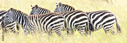 Photo  Zebra Trio