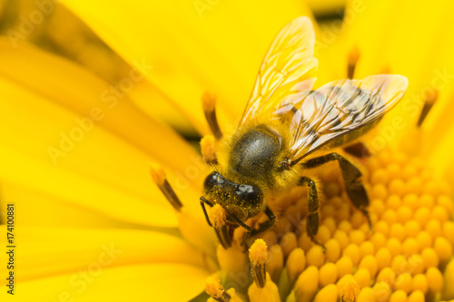 Plakat pszczoła zapylająca żółty kwiat