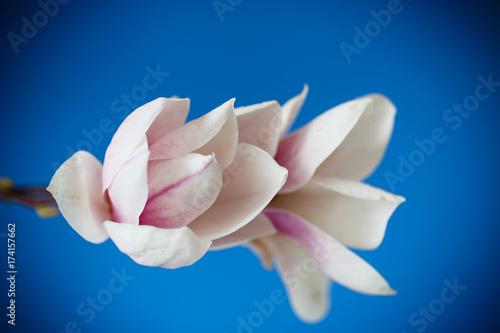 Plakat Piękny różowy kwiat magnolii