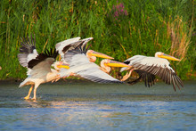 Pelicans In The Danube Delta, ...
