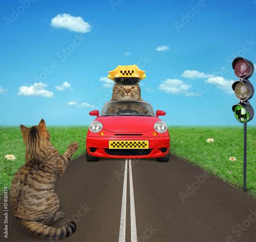 Zdjęcie XXL Kot próbuje złapać taksówkę przy światłach.