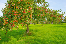 Fruit Trees In An Orchard In S...