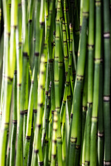 green horsetail stems for beautiful sustainable nature or botanic wallpaper