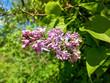 Beautiful magenta lilac blossom and blue sky