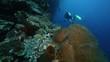 Scuba diving along vertical coral reef wall at Bunaken Island, Sulawesi