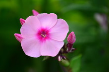 Isolated Pink Flower And Buds From A Tall Phlox