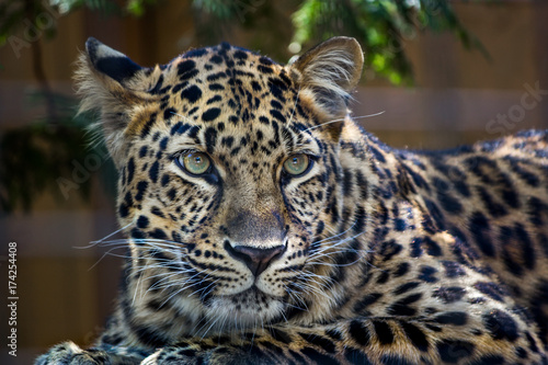 Amur leopard with green eyes looking at something Wallpaper Mural