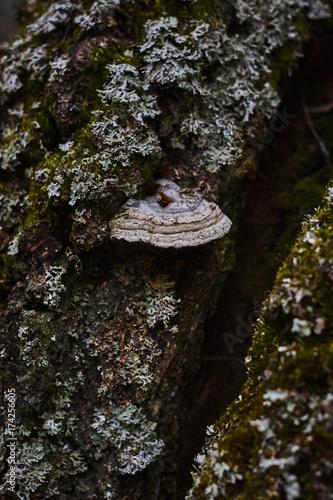 Fotografia, Obraz  parmelia lichens hypogymnia Laetiporus Polyporus polypore sponk  in dark backgro