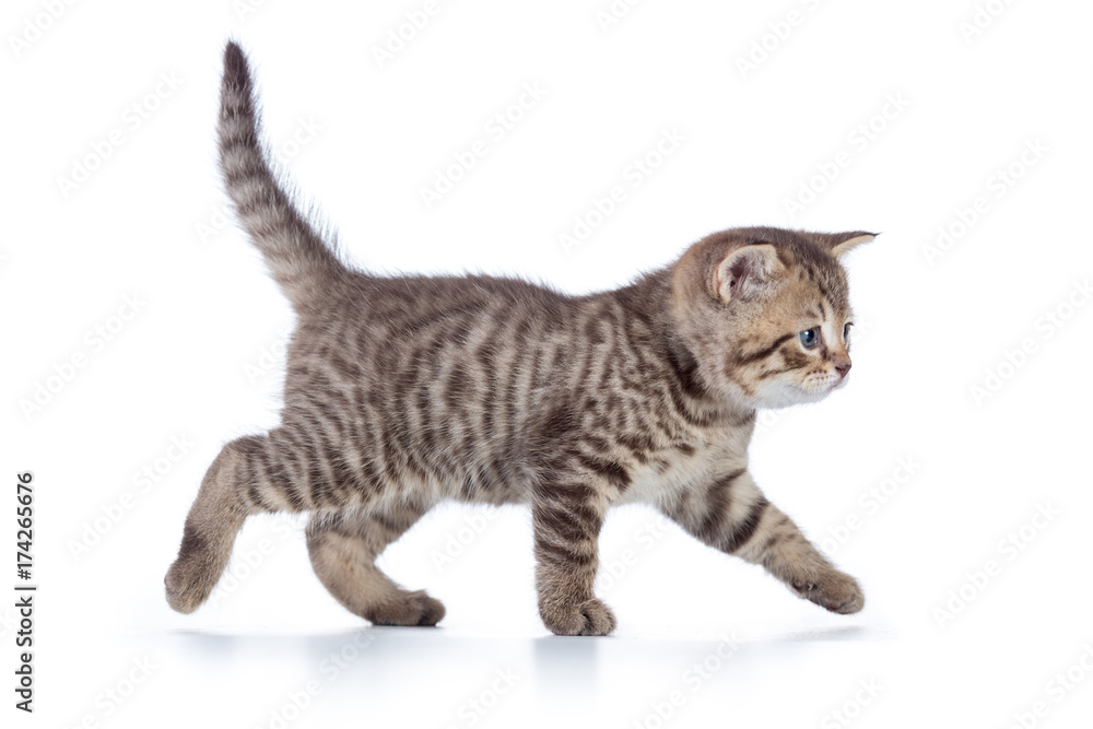 Grey cat kitten walking gracefully along white background