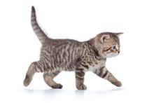 Grey Cat Kitten Walking Gracef...