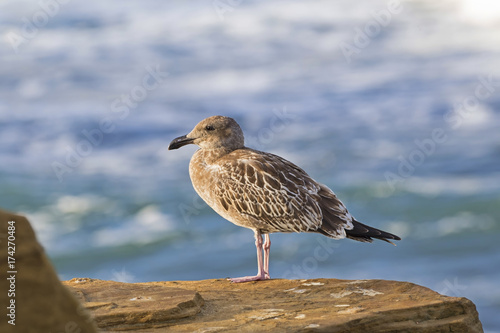 Beach seagull at La Jolla Cove, San Diego