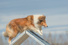 Rough Collie Climbs Over An A-...
