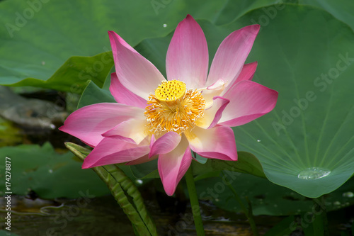 Staande foto Lotusbloem pink lotus flower are blooming