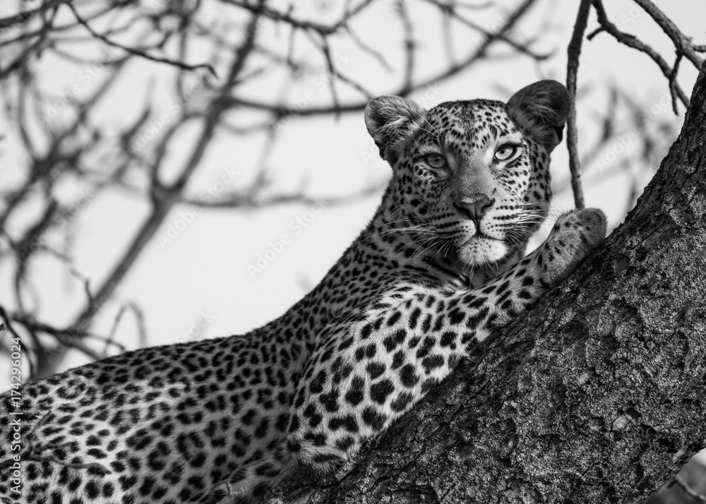 förslag på födelsedagskort Fotografiet, Poster leopard on the tree på Europosters.se förslag på födelsedagskort