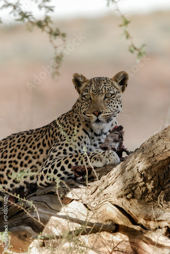 Plakat Kalahari Leopard With Kill