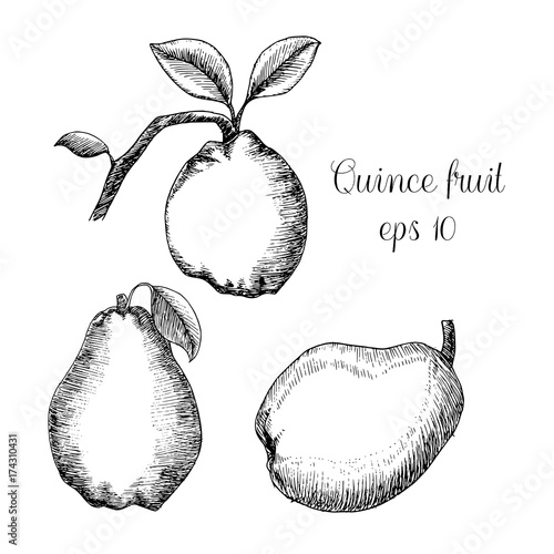 Hand drawn ink illustration of quince Poster Mural XXL