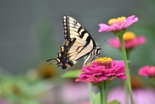 Yellow Swallowtail On Zinnia F...