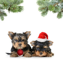 Two Yorkshire Terrier Dog In T...