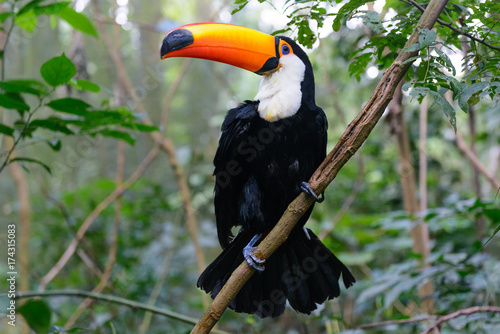In de dag Toekan Colorful toucan in the aviary