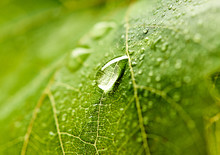 Grape Leaf With Dew Drops. Bea...