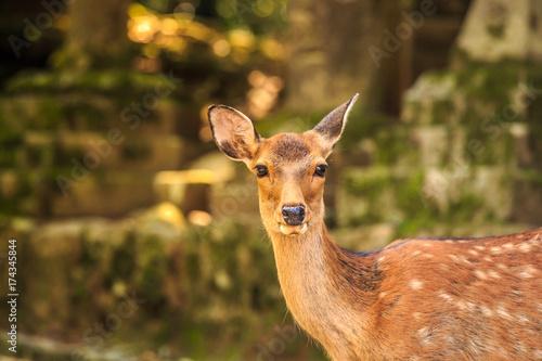 Fotografie, Obraz  奈良の鹿