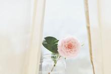 Pink Camellia Flower In Vase Jar