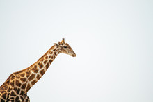 A Giraffe Head And Long Neck Portrait On A Clear Bright Day
