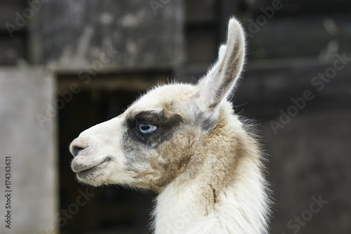 Young llama portrait