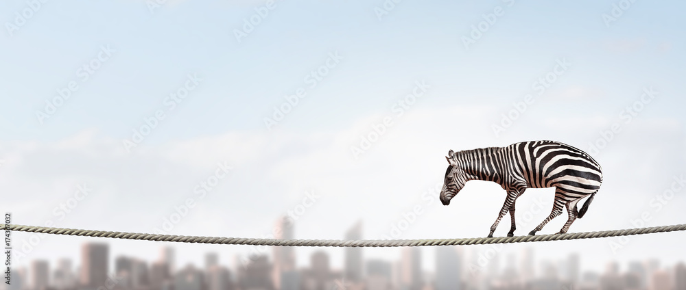 Fototapety, obrazy: Zebra balancing on rope. Mixed media