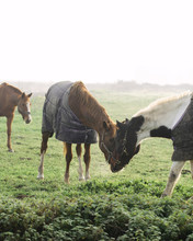Two Horses Wearing Caparisons Forehead To Forehead In Misty Field