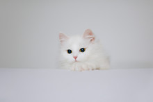 Little Beautiful Persian Cat Indoors